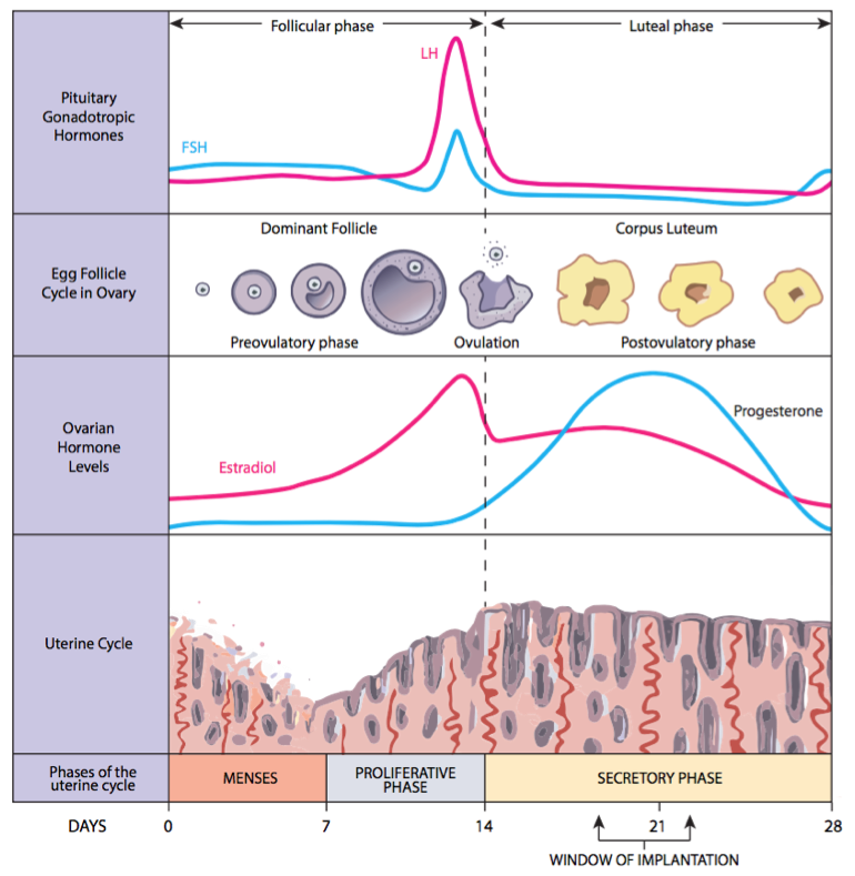 ovulation | monthly cycle phases | Tennessee Reproductive Medicine